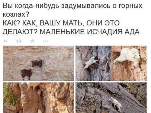 горные козлы на скале