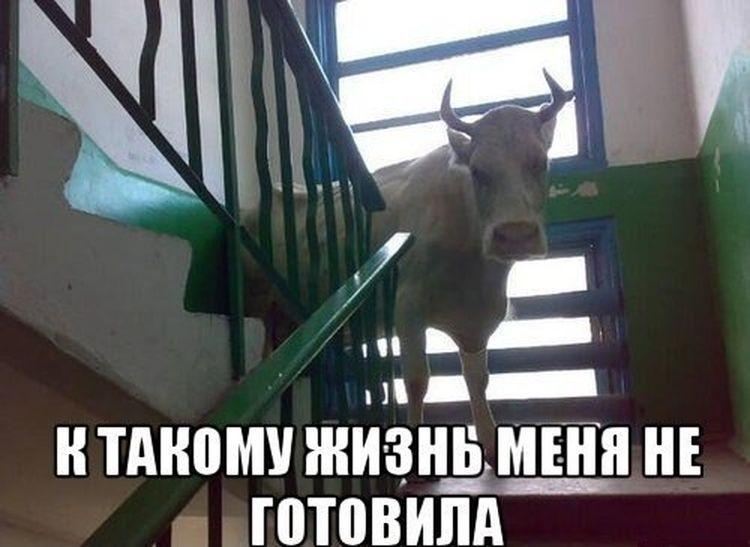 корова на лестничной площадке к такому жизнь меня не готовила