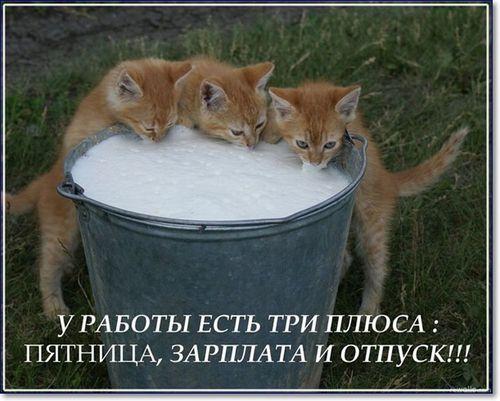 котята пьют молоко из ведра пятница