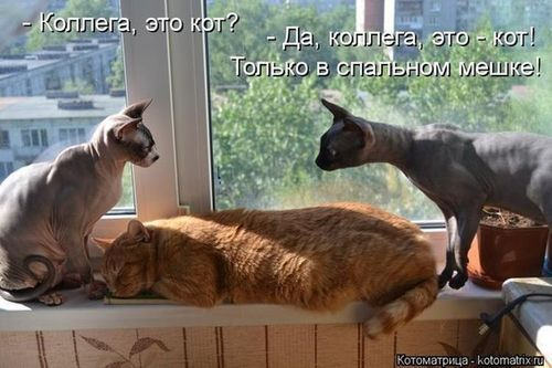 лысые коты и пушистый кот