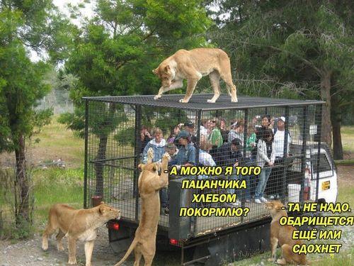 люди в клетке и львы