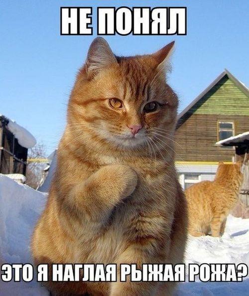 рыжий кот не понял это я наглая рыжая рожа