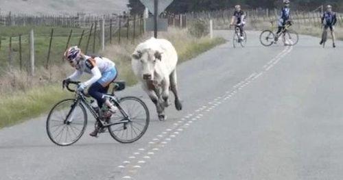 корова гонится за велосипедистом