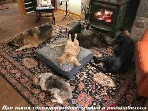 кот и собаки вокруг